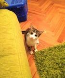 Grå färger och vit katt som ser sitta upp fotografering för bildbyråer