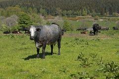 Grå färger och vit ko i ett fält royaltyfria foton