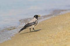 Grå färggalandelat Corvuscornix med ett stycke av mat är på den sandiga kusten längs havet Royaltyfri Bild
