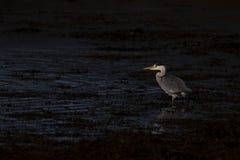 Grå färghäger, cinerea Ardea och att jaga som fiskar, dessutom, en låg pöl under fullständigt ottaljus i Skottland under oktober royaltyfri fotografi