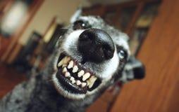Grå färgherden grinar fotografering för bildbyråer