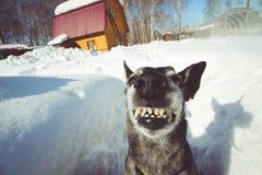Grå färgherden grinar på naturen royaltyfria foton