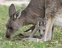 Känguru och känguruunge arkivfoto