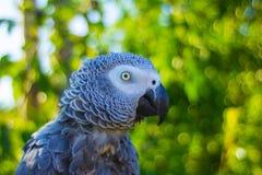 Grå färgpapegojafågel i trädgård Fotografering för Bildbyråer