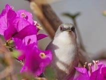 Grå färgwaxbillkolibri royaltyfria foton