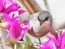 Grå färgwaxbillkolibri fotografering för bildbyråer