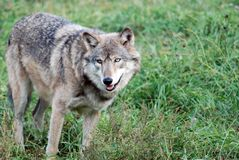 Grå färgWolf (Canislupus) royaltyfria bilder