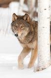 Grå färgwolfen (Canislupus) går bakifrån björktreen Arkivbild