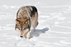 Grå färgwolfen (Canislupus) stryker omkring in mot tittaren till och med Snow Arkivfoton