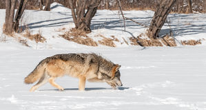 Grå färgwolfen (Canislupus) traver Along den snöig riverbeden Arkivbilder