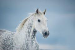Grå fläckig hästvinterstående Arkivfoto