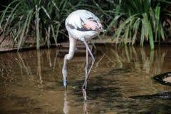 Grå flamingo för chilenskt barn Arkivbild