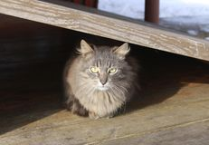 Grå fluffig katt med gröna ögon Bakgrund royaltyfria bilder