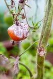 Grå form på tomaten Arkivfoto