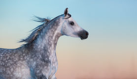 Grå fullblods- arabisk häst på bakgrund av aftonhimmel Arkivbild