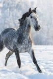 Grå fullblods- spansk hästkörningsgalopp i vinter royaltyfria bilder