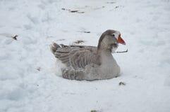 Grå gås i snön Royaltyfri Foto