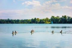 Grå gås på sjön Royaltyfri Fotografi