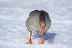 Grå gås på vit snö Fotografering för Bildbyråer