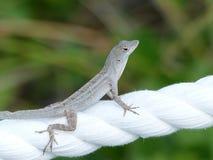 Grå geckoödlacloseup på ett vitt rep Royaltyfri Bild