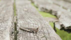 Grå gräshoppa på det gråa trädet stock video
