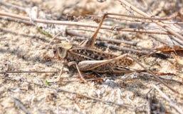 Grå gräshoppa på sand i skogen arkivfoton