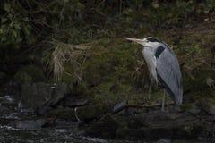 Grå häger, cinerea ardea, anseende som söker för mat vid en vattenfall på flodlossie i elgin, moray, Skottland Royaltyfria Bilder