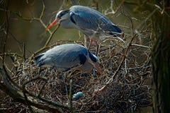 Grå häger, cinerea Ardea, par av vattenfåglar i rede med ägg som bygga bo tid, djurt uppförande Royaltyfri Foto
