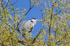 Grå häger - den cinerea ardeaen - på ett träd med en härlig bakgrund för blå himmel fotografering för bildbyråer