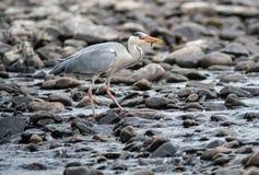 Grå häger som äter fisken Arkivbild