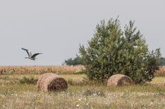 Grå häger som flyger över ett havrefält Arkivfoto