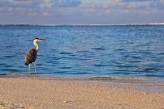 Grå häger vid havet Royaltyfria Foton
