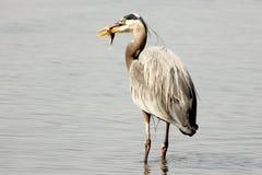 Grå hägerfågel med en fisk Arkivfoto