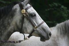 grå häst Arkivfoton