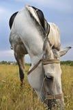 Grå häst Royaltyfria Bilder