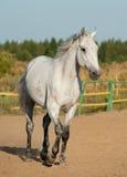 Grå häst Fotografering för Bildbyråer