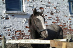 grå häst Arkivbilder