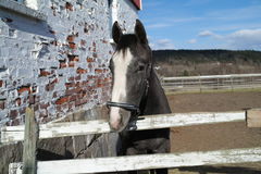 grå häst Royaltyfria Foton