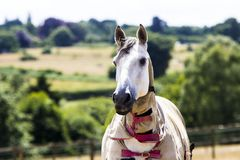Grå häst i fält i sommar fotografering för bildbyråer