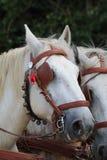 Grå häst i sele på stora festen de la Moisson på helgonet Denis de Gastines 2018 royaltyfri fotografi