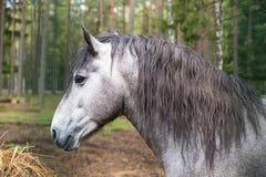 Grå häst med den långa manståenden av ett fullblods- djur som ser hö på en skog Royaltyfria Bilder