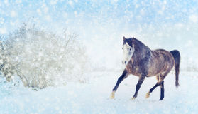 Grå häst med trav för vinterpälsspring på snönaturbakgrund baner Fotografering för Bildbyråer