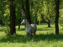 Grå häst på grönt gräs Arkivfoto