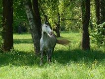 Grå häst på grönt gräs Arkivbild
