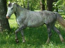 Grå häst på grönt gräs Royaltyfria Bilder