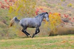 Grå häst som är snabbt växande i fält Royaltyfria Bilder