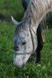 Grå häst som betar i ett fält Fotografering för Bildbyråer