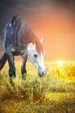 Grå häst som betar på solnedgången och äter nässlor fotografering för bildbyråer