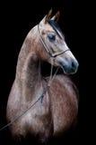 Grå häst som isoleras på svart arkivfoto