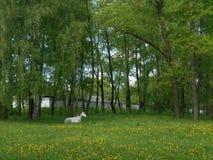 Grå häst som sover landskap Arkivbilder
